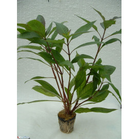 Hygrophila corymbosa siamensis en pot