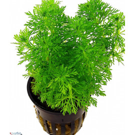 Limnophila sessiliflora en pot