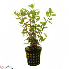 Ludwigia palustris en pot