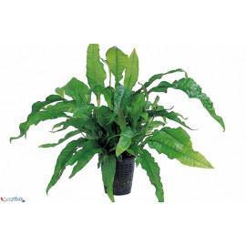 Microsorium latifolia en pot