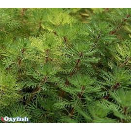 Myriophyllum brasiliensis en pot