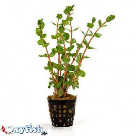 Rotala rotundifolia en pot