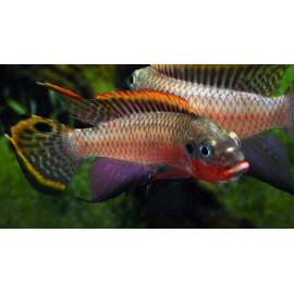 Pelvicachromis Taeniatus Nigeria Red 3.5-4 cm