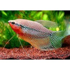 Gourami perle 5.00 cm trichogaster leeri