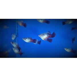 Platy Rouge & Blanc à points 3.00 cm xiphophorus maculatus