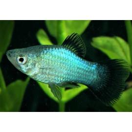 Platy Neon Blue Wagtail 4.00 cm xiphophorus maculatus
