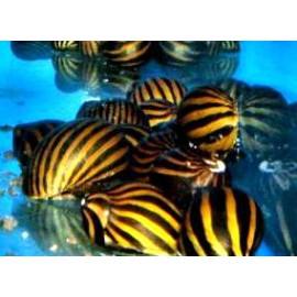 PROMO LOT DE 10 Neritina Coromandeliana  Escargot Marron Zebra noir 2.00 cm