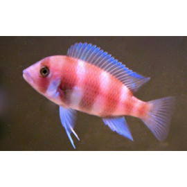 Cyphotilapia Frontosa Sp Red 2.5 cm