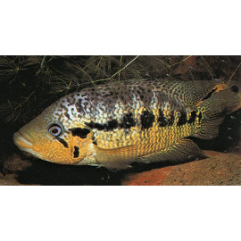 Parachromis Loisellei Panama 2.5-3.00 cm