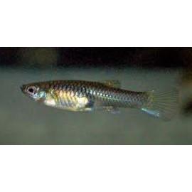 Guppy femelle Endler 2.5 cm Poecilia wingei
