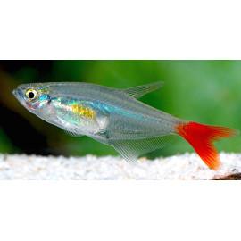 Prionobrama filigera tetra queue rouge  3.00 cm
