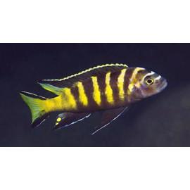 Pseudotropheus elongatus chailosi  7-8 cm