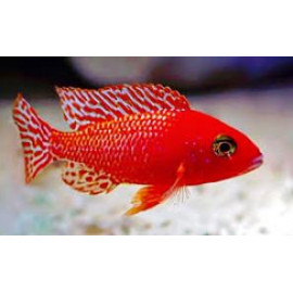 Aulonocara red dragon - fire fish 4.50 cm