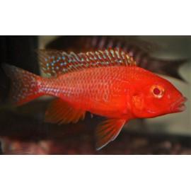 Aulonocara red dragon Albino - fire fish 7.5 cm