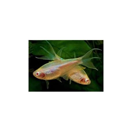 Nematobrycon palmeri Albino -- Tetra empereur Albino  3.00 cm