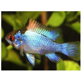 Microgeophagus ramirezi electric blue  2.5-3 cm