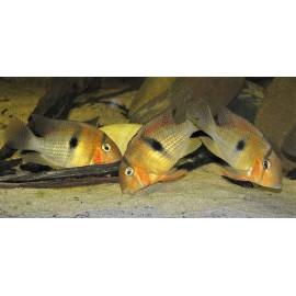 Guianacara Owroewefi Surimane River  3.5-4 cm