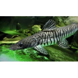Pseudoplatystoma fasciatum  -- poisson chat tigre --15-18 cm