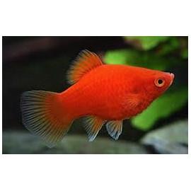 Platy Red Coral -- xiphophorus maculatus  - 2-2.5cm