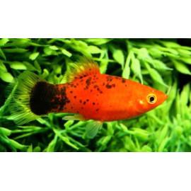 Platy Rouge Calico  3.50 cm xiphophorus maculatus