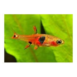 Rasbora boraras merah (m) 1-1.5 cm