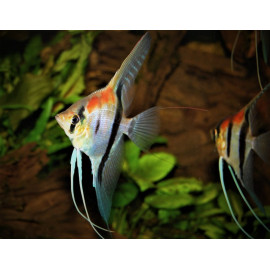Pterophyllum scalare Manacapuru Red Back super Rouge 4-5 cm