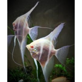 Pterophyllum scalare Rio Jupura Albino 3-3.5 cm