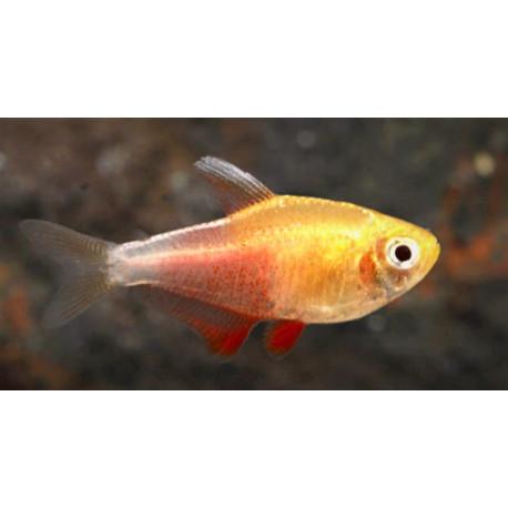 Hyphessobrycon flammeus tetra flamme orange Albino nagoires Blanches 3.0 cm