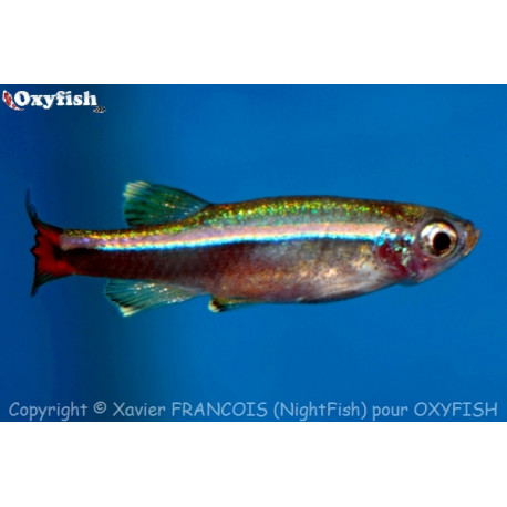Thanichthys albonubes faux neon 2.5cm