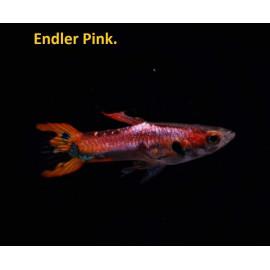 Guppy male endler pink  2.5 cm poecilia wingei
