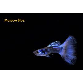 Guppy male bleu moscou 3.5 cm poecilia reticulata