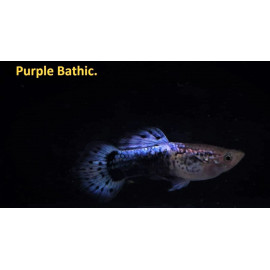 Guppy male purple baltic 3.5 cm poecilia reticulata