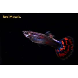 Guppy male rouge mosaique 3.5 cm poecilia reticulata