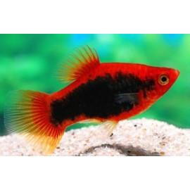 Platy rouge tuxedo  3.00 cm xiphophorus maculatus