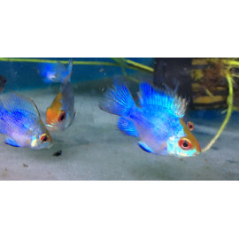 Microgeophagus ramirezi  electric blue  3-3.5 cm