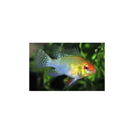 Microgeophagus ramirezi  electric blue tête jaune  3-3.5 cm