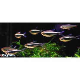 Hyphessobrycon herbertaxelrodi neon noir 3.00 cm