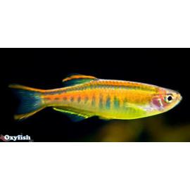Danio Choprae Danio Glowlight  3.00 cm