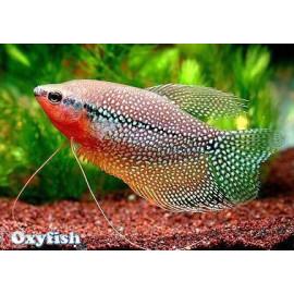 Gourami Perle 7.5 cm Trichogaster leeri