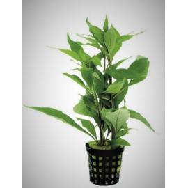 Nomaphyla stricta Green en pot