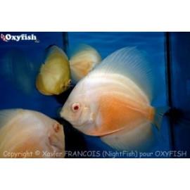 Symphysodon aequifa. yellow & white   8-10 cm