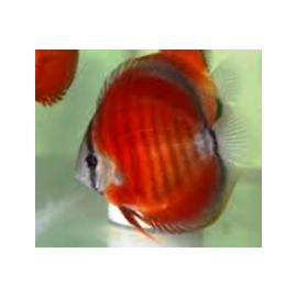 lot de 6 Discus Pigeon blood, Red Rose, Snow white, Diamond et yellow&white - 6-7 cm