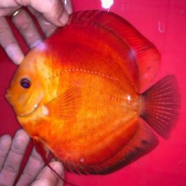 Symphysodon aequifa. Red marlboro  9-10 cm