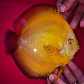 Symphysodon aequifa. Golden marlboro  9-10 cm