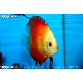 Symphysodon aequifa. red melon   6-7 cm