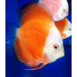 lot de 6  Discus  Red Melon white face et golden - 6-7 cm