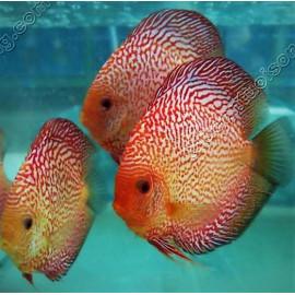 lot de 3 Discus Red Melon white face, Golden, Leopard, Snake turquoise red spot et snake leopard - 8-10cm