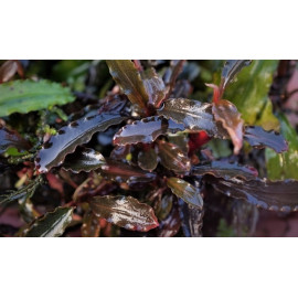 "Bucephalandra "" Mini Red"""