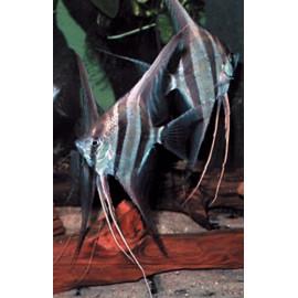 Pterophyllum scalare Rio Negro  4.00 cm