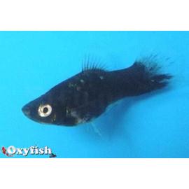 Platy Noir fantôme -  3.00 cm xiphophorus maculatus